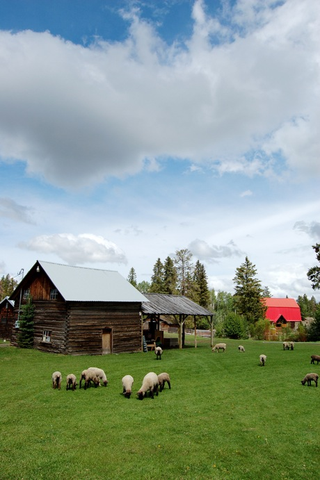 Cutter Ranch barn, lambs and sheep grazing at inner meadows.