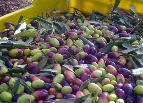 Creanza_Olives_In_Crate
